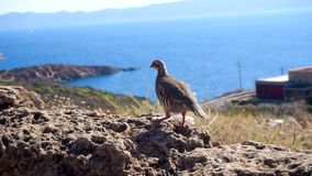 Vogel auf der felsigen Küste stock footage