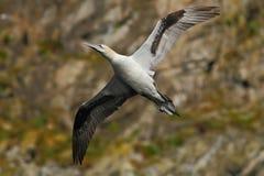 Vogel auf der Klippe Fliegenseevogel, Nordbasstölpel mit Felsen im Hintergrund, Runde-Insel, Norwegen Gannet in der Fliege in der lizenzfreie stockbilder