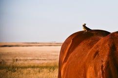 Vogel auf der Rückseite eines Pferds Stockbild