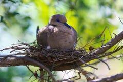 Vogel auf einem Nest Lizenzfreies Stockbild