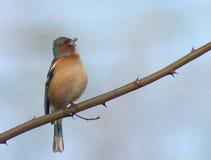 Vogel auf einem stacheligen Zweig Lizenzfreie Stockbilder