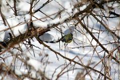 Vogel auf einer Niederlassung im Winter Stockfotografie