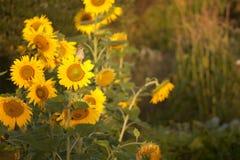 Vogel auf einer Sonnenblume Stockfotos