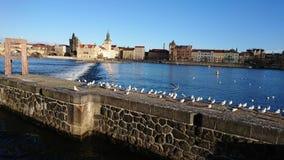 Vogel auf Fluss Prag Stockfotos