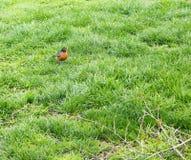 Vogel auf Gras Stockbilder