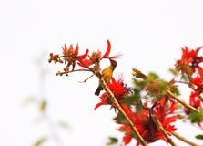Vogel auf Inder Coral Tree, der Greifer des veränderten Tigers, Erythrina-variegata, rote Blumen mit Hintergrund des blauen Himme Lizenzfreie Stockfotografie