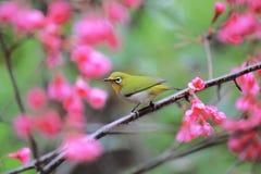 Vogel auf Kirschbaum stockfotografie