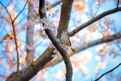 Vogel auf Kirschblüte-Baum Stockfotografie