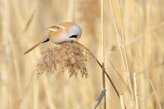 Vogel auf Reedquaste stockfoto