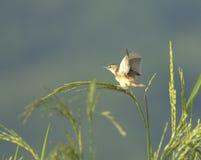 Vogel auf Reis Lizenzfreies Stockbild