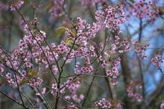 Vogel auf schönen Kirschblüten Lizenzfreies Stockbild