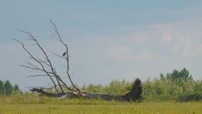 Vogel auf trockenem gefallenem Baum stock video footage