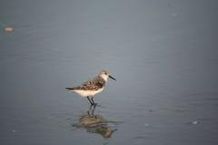 Vogel auf Ufer in Myrtle Beach Lizenzfreie Stockbilder