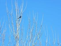 Vogel auf weißen Niederlassungen mit Sonnenschein und blauem Himmel Lizenzfreie Stockfotos