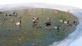 Vogel auf Winterteichenten wintern über, wässern und gefrieren stock video footage