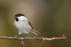 Vogel auf Zweig Lizenzfreie Stockfotos