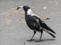Vogel, Australische ekster die een insect eten royalty-vrije stock afbeeldingen