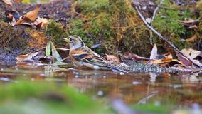 Vogel badete im Wasser im Herbstwald stock footage