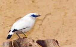 Vogel Bali-Starling (Leucopsar rothschildi) Lizenzfreie Stockfotos