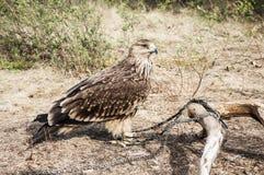 Vogel berkut Lizenzfreie Stockbilder