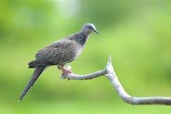 Vogel (beschmutzte Taube), Thailand Lizenzfreies Stockfoto