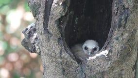 Vogel bevlekt de binnenkantnest van de kuikenuil in boomgat stock videobeelden
