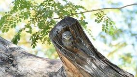 Vogel Bevlekte jonge uil, Uil in holle boomboomstam stock video