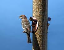 Vogel bij voeder Stock Afbeeldingen