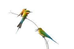 Vogel (Blau-angebundener Bee-eater) auf weißem BAC Lizenzfreies Stockfoto