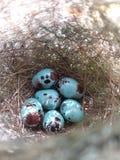 Vogel blauw ei Stock Foto