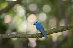 Vogel blauwe kleur Royalty-vrije Stock Foto's