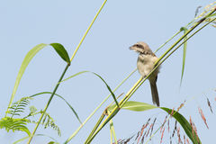Vogel Brown-Shrike Stockfotografie