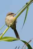 Vogel Brown-Shrike Lizenzfreies Stockfoto