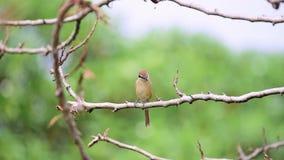 Vogel-Brown-Würger auf Baum in einer Natur wild stock footage