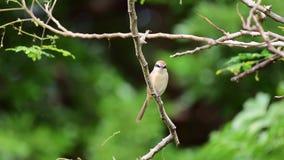 Vogel (Brown-Würger) auf Baum in einer Natur wild stock video footage