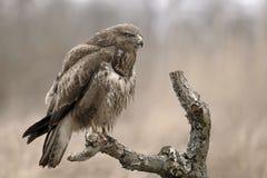 Vogel Buteo Buteo stockbilder