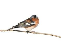 Vogel Chaffinch, das im Park auf einer Niederlassung auf Weiß lokalisiert sitzt Lizenzfreies Stockfoto