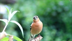 Vogel Chaffinch, das seine Junge, Fringilla coelebs nennt stock video footage
