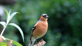 Vogel Chaffinch, das seine Junge, Fringilla coelebs nennt stock footage