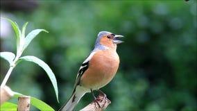 Vogel Chaffinch, das seine Junge nennt stock footage