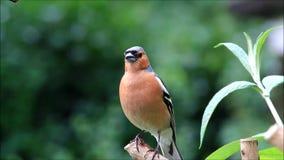 Vogel Chaffinch, das seine Junge nennt stock video