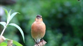Vogel Chaffinch, das seine Junge nennt stock video footage