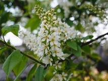 Vogel Cherry Twigs met Wit De ochtend? gebied van de lente van groen gras en blauwe bewolkte hemel royalty-vrije stock foto's