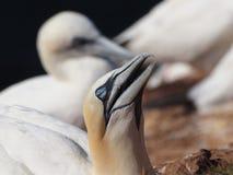 Vogel colonie op het eiland Helgoland Stock Foto's