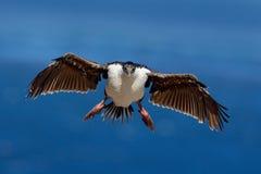 Vogel in de blauwe oceaan van het vliegverstand Keizerpluizig laken, Phalacrocorax atriceps, aalscholver tijdens de vlucht, donke Royalty-vrije Stock Afbeeldingen