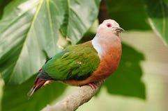 Vogel --- De KeizerDuif van Pinon Royalty-vrije Stock Foto