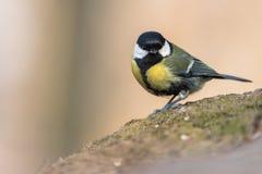 Vogel - de majoor van Koolmeesparus stock foto