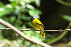 Vogel de met zwarte kop van Bulbul (Pycnonotus atriceps) Stock Afbeeldingen