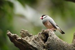 Vogel --- de mus van Java Stock Afbeelding