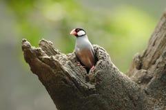 Vogel --- de mus van Java Stock Afbeeldingen